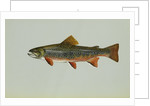 Brook trout by Corbis