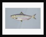 Blueback herring by Corbis