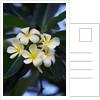 White frangipani flower by Corbis