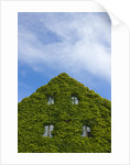 Medieval house wall covered by ivy, Visby by Corbis