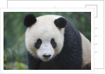 Giant panda cub by Corbis