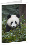 Giant panda cub in forest by Corbis