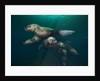 Steller sea lions swimming underwater by Corbis