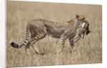 Cheetah carrying Thomson's Gazelle calf kill by Corbis