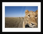Curious adolescent male lion approaching by Corbis