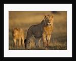 Lion on savanna at sunrise by Corbis