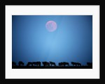 Wildebeest at moonrise in Masai Mara National Reserve by Corbis