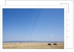 Wildebeest in Masai Mara Game Reserve by Corbis