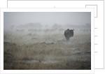 Wildebeest in rain storm in Masai Mara National Reserve by Corbis