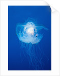 Crown Jellyfish (Netrostoma setouchina), Blue Corner, Micronesia, Palau by Corbis