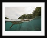 Saltwater Crocodile swimming with its head just above the surface (Crocodylus porosus) by Corbis