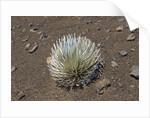 Endangered and endemic Silversword at Haleakala Volcano Crater (Argyroxiphium sandwicense macrocephalum) by Corbis