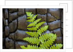 Fern in the front of burned log at Yosemite National Park by Corbis