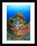 Blue Sea Star and brilliant red sea fans near Komba Island in the Flores Sea, Indonesia by Corbis