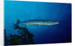 Great Barracuda (Sphyraena barracuda) by Corbis