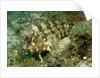 Tompot Blenny (Parablennius gattorugine), Croatia, Mediterranean Sea. by Corbis
