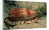 Front-Gilled or Geographic Cone Snail (Conus geographus), Pacific Ocean. by Corbis