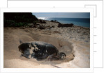 Green Sea Turtle digging a nesting hole on a beach (Chelonia mydas), Pacific Ocean, Borneo. by Corbis