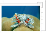 Christmas Tree Worms growing on Coral (Spirobranchus giganteus), Pacific Ocean, Borneo. by Corbis