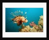 Lionfish or Turkeyfish (Pterois volitans), Indian Ocean, Andaman Sea. by Corbis