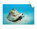 Conch active on the sandy ocean floor (Strombus gigas), Bahamas, Atlantic Ocean.\r\n by Corbis