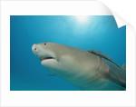 Lemon Shark, Negaprion brevirostris, Bahamas, Grand Bahama Island, Atlantic Ocean by Corbis