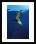 Group of Californian Sea Lion, Zalophus californianus, USA, California, Pacific Ocean by Corbis