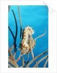 Bearded Fireworm, Hermodice carunculata, Netherlands Antilles, Bonaire, Caribbean Sea by Corbis