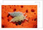 Two Lettuce sea slugs, Tridachia crispata, Saint Lucia, French West Indies, Caribbean Sea by Corbis