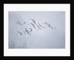 Flock of Black-headed gull flying in blizzard by Corbis