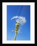 Dandelion by Corbis