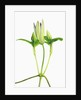 Clematis buds by Corbis