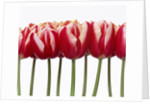 Red tulips, close up, white background by Corbis