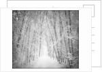 Forest in winter by Corbis