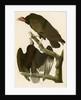 Turkey Buzzard by John James Audubon