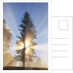 Sun shining through trees in Oregon Cascades by Corbis