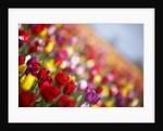 Tulip fields in Woodburn, Oregon by Corbis