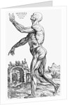 Muscles of the human body by Andreas Vesalius