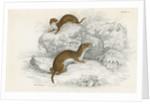Weasels by Corbis