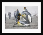 King Penguins about to mate, South Georgia Island by Corbis