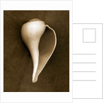 White Conch Shell by Corbis