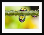 Dew drops reflecting flowers by Corbis