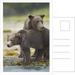 Brown Bear and Cub, Katmai National Park, Alaska by Corbis