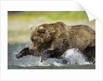 Brown Bear Fishing, Katmai National Park, Alaska by Corbis