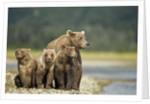 Brown Bear and Cubs, Katmai National Park, Alaska by Corbis