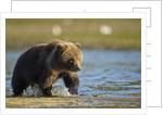 Brown Bear Spring Cub, Katmai National Park, Alaska by Corbis
