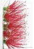 Crimson bottlebrush (callistemon citrinus) by Corbis