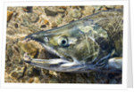 Close-up of Dying Spawning Salmon, Alaska by Corbis
