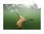 Steller's Sea Lion, Alaska by Corbis