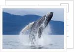 Breaching Humpback Whale, Alaska by Corbis